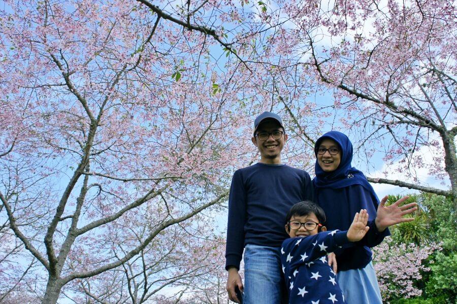 cherry blossom auckland botanic gardens