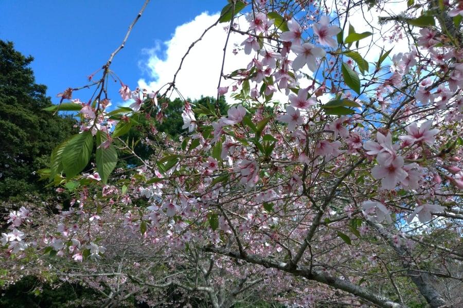 cherry blossom auckland domain