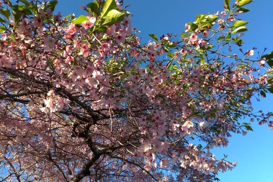 cherry blossom centennial park