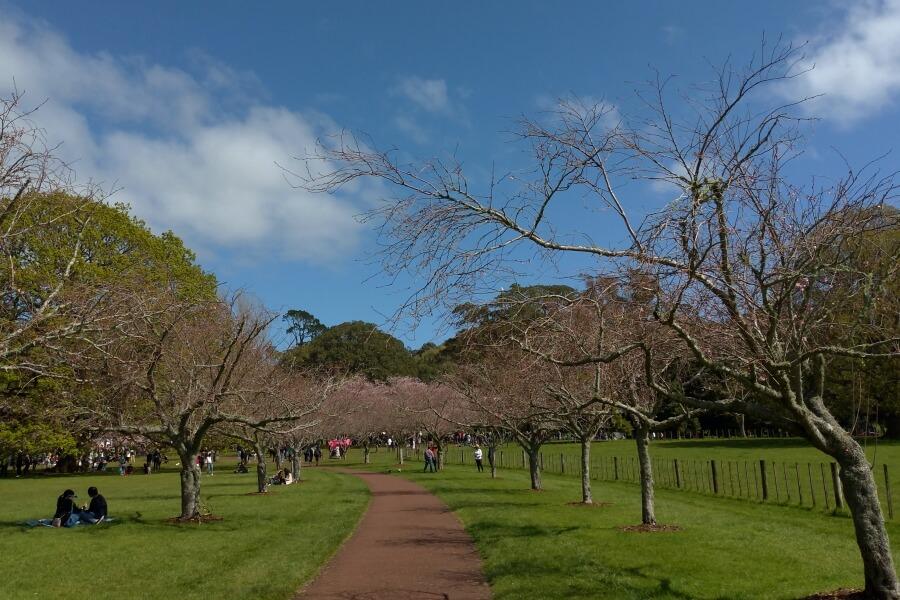 cherry blossom cornwall park